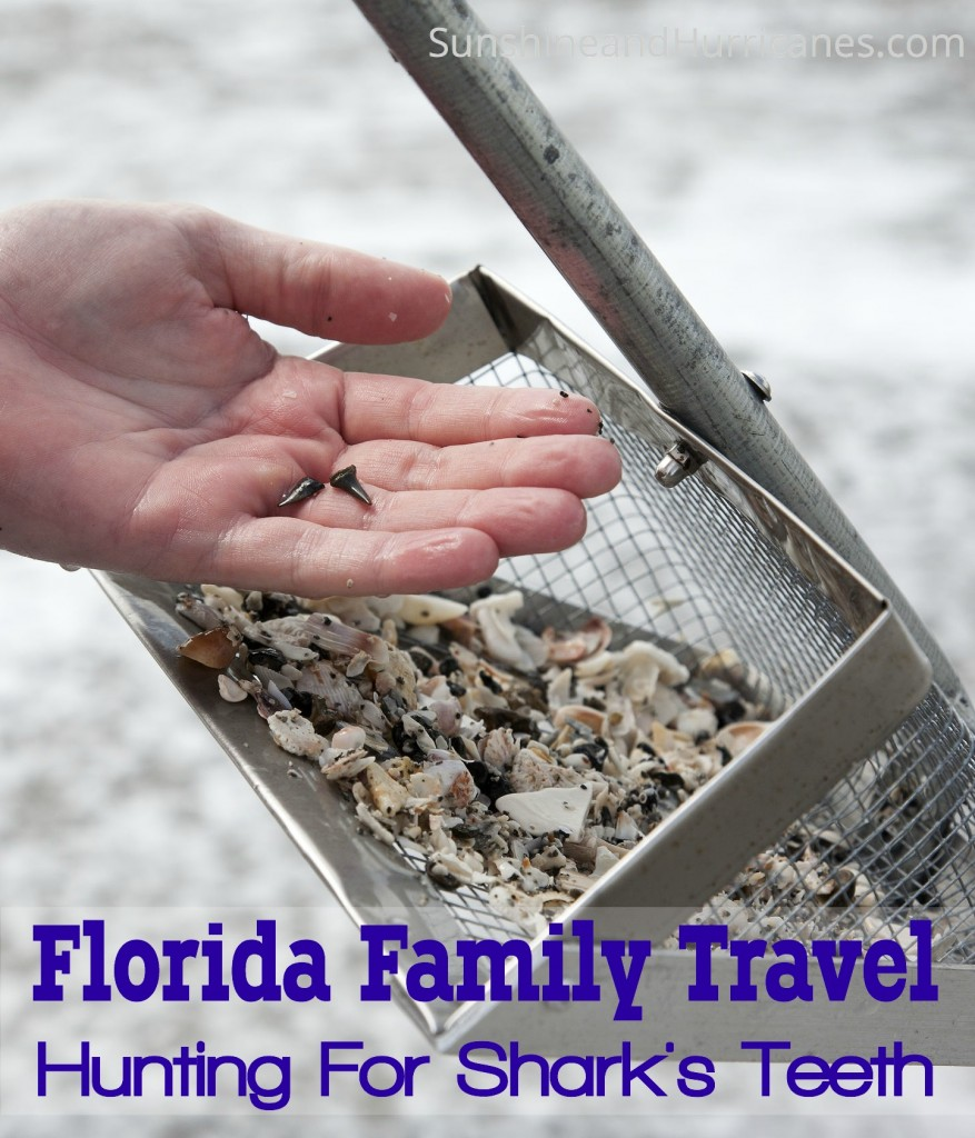 Florida Family Travel Searching For Shark Teeth is full of tips and ideas to give your kids the adventure of a lifetime hunting prehistoric shark teeth.