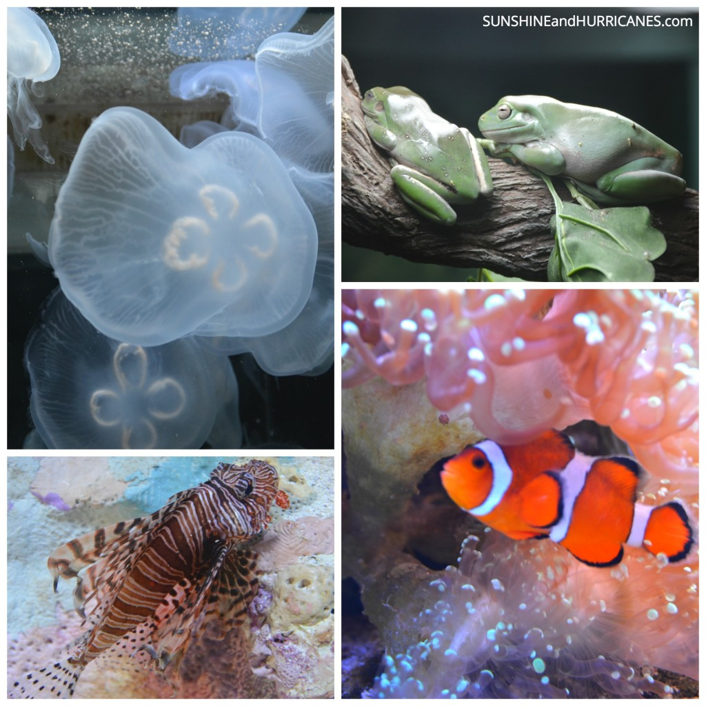 The Mote Marine Aquarium in Sarasota  features all sorts of wondrous sea creatures. Children will love learning while they explore. Florida Family Travel Sarasota. SunshineandHurricanes.com